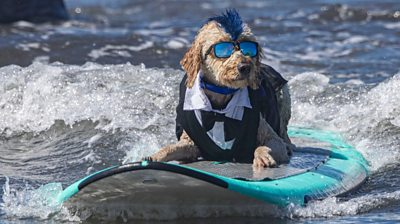 Derby the dog on its surfboard