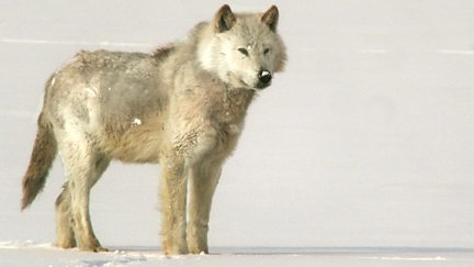 A Wolf Called Storm: Natural World Special