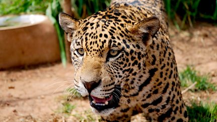 Jaguars: Born Free - Natural World Special