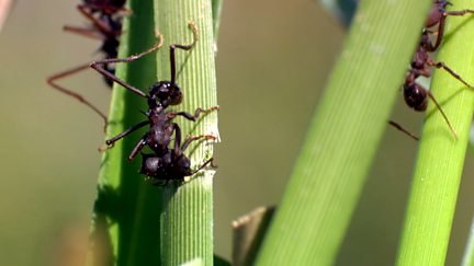 Grass Cutter Ants - Teamwork