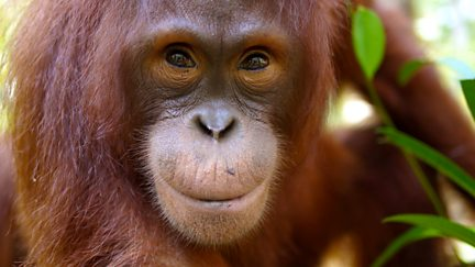 Orangutans: The Great Ape Escape