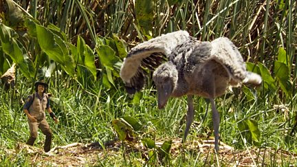 Andy and the Shoebill Chick