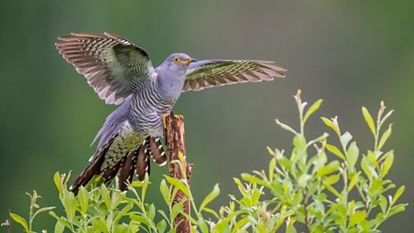 How a Norwegian Folk song inspired the first cuckoo in spring