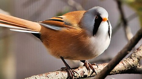 No need to check your phone!  It's just the 'ping' of the Bearded Tit