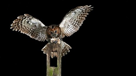 Wooooo!  Give yourself goosepimples with the sound a graveyard tawny owl