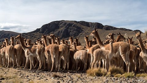The ancestral art of herding vicuna