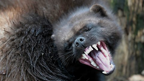 Ultra running to save wolverines