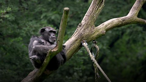 How chimpanzees reveal our origins