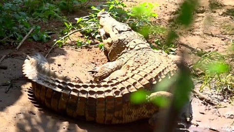 The man with 45 'pet' crocodiles