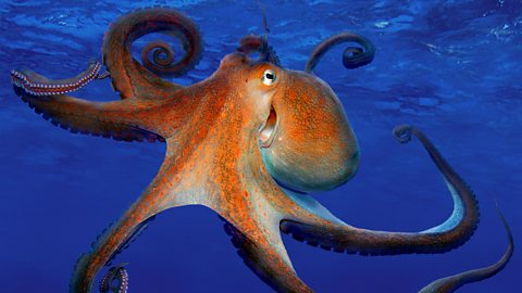 Octopus: The thief of the deep