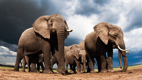 Elephants can hear clouds approaching