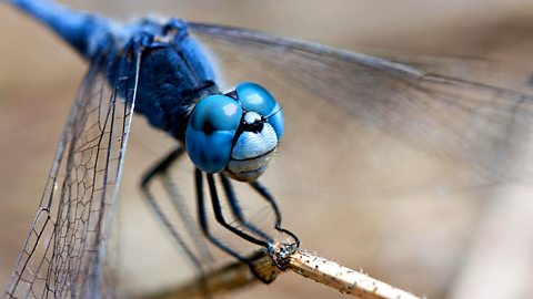 The dragonflies' world of slow motion