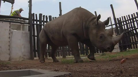The world's largest rhinos transfer