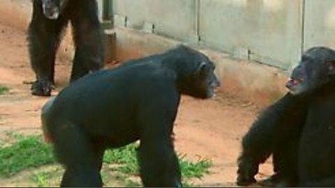 When a male and female chimp meet for the first time