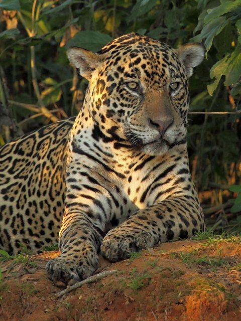 BBC Two   Wild Brazil   Jaguar