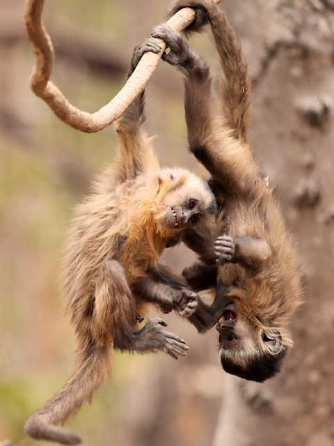 BBC Two - Wild Brazil - Tufted capuchin