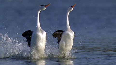 Image result for grebe dance free image