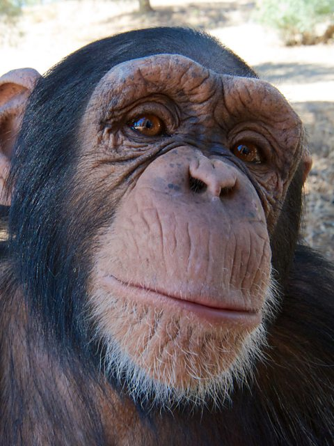 bbc one super cute animals great apes
