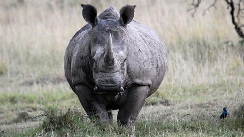 BBC Two - Wild Africa, Savannah, Savannah life