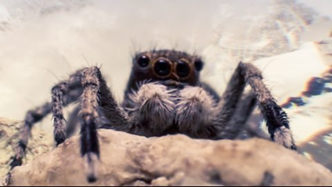 BBC Two - Wild China, Tibet, Jumping spider