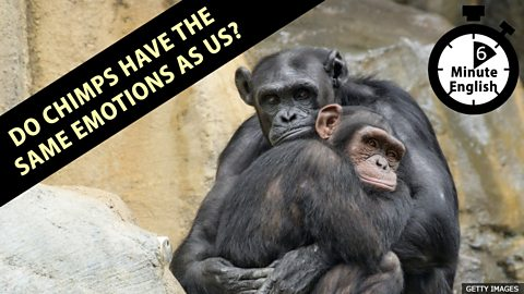 Do chimps have the same emotions as us?