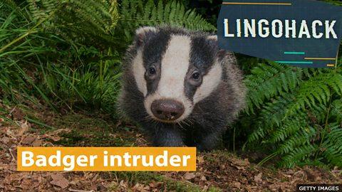 Badger intruder