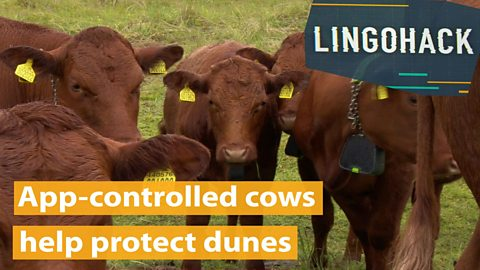 App-controlled cows help protect dunes