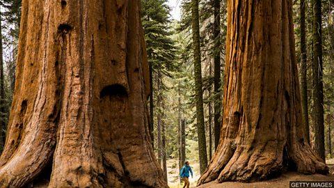 Could planting giant trees offset a lifetime's carbon footprint? 种植大树能抵消人一生的碳足迹吗?