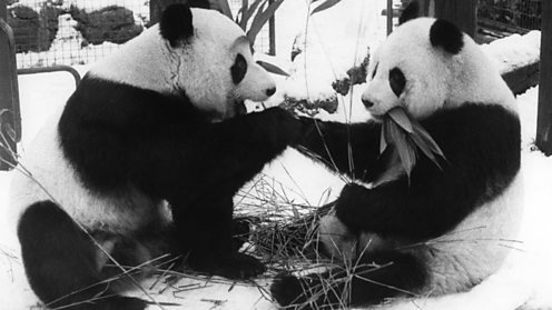 Giant pandas at London Zoo