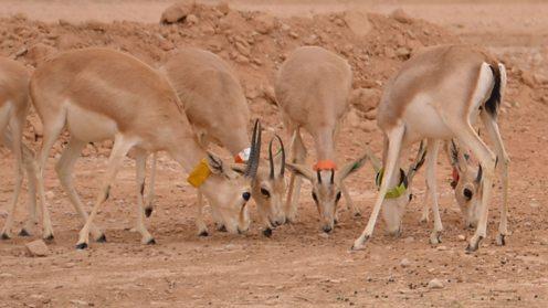 Sand gazelles, ZSL