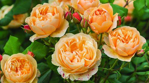 Roald Dahl rose