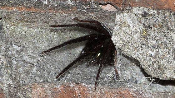 погребной паук фото что