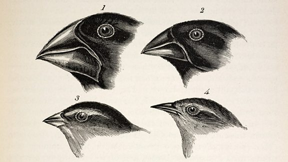 Sketches of 4 galapagos finches, each with subtle variations in beak size and shape.