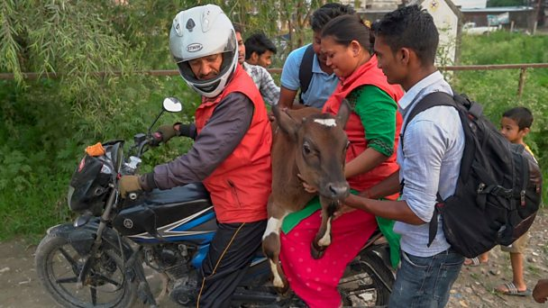 The man who saves cows on his motorbike