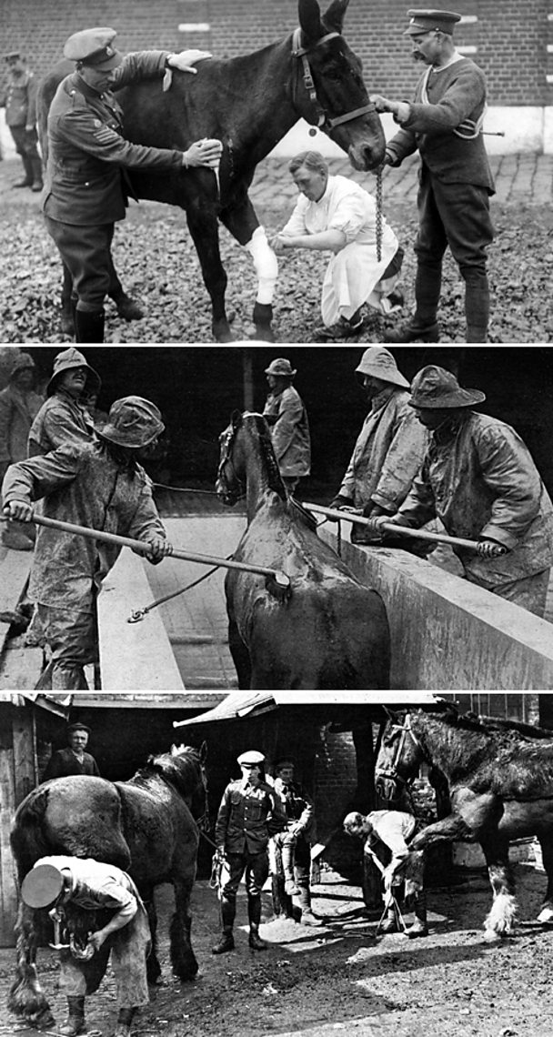 Caring for horses in WW1