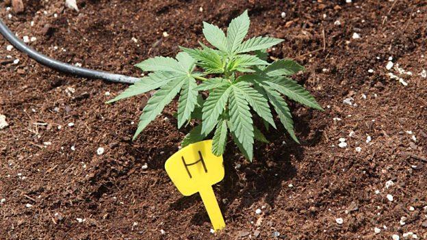 2014 01 essay on legalizing weed Legalization of marijuana argumentative essay writing