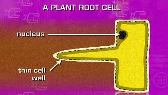 Bbc bitesize gcse biology single science the root hair cell ccuart Choice Image
