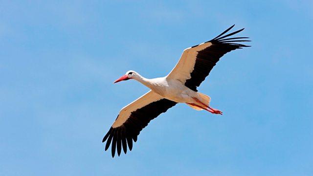 BBC Radio 4 - Tweet of the Day, White Stork