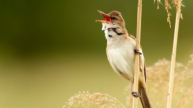 Bbc Radio 4 Tweet Of The Day Great Reed Warbler