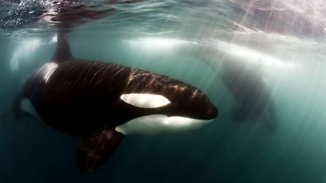 Killer Whales: Beneath the Surface