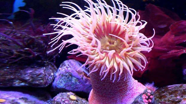 Bbc Radio 4 Natural Histories Anemone Sea Anemones Can Live Forever