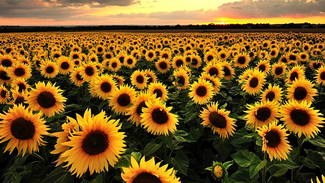 BBC Radio 3 - The Essay, The Meaning of Flowers, Sunflower