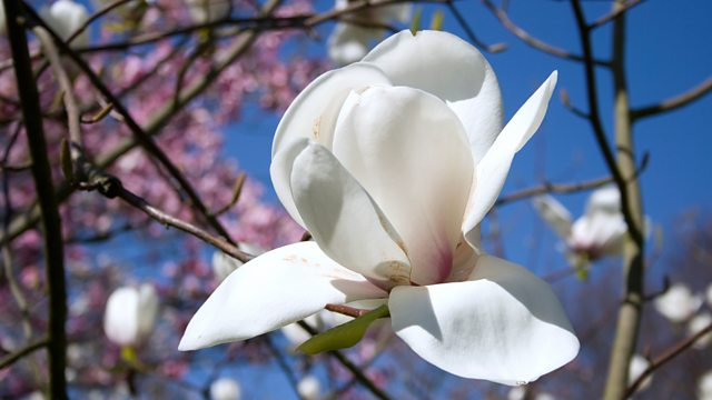 Bbc Radio 3 The Essay The Meaning Of Flowers Magnolia