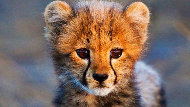 bbc one   animal babies safari babies