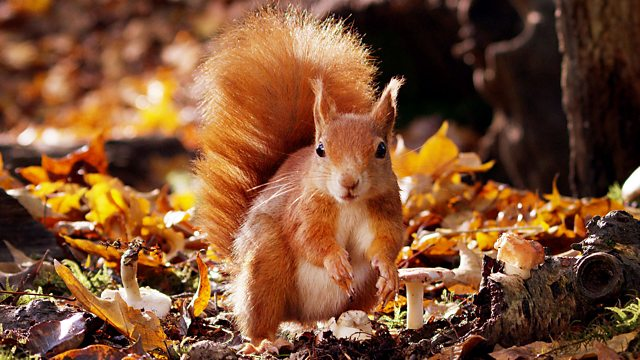 BBC Radio 4 - You and Yours, Red squirrel conservation