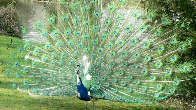 BBC Radio 4 - Natural Histories, Peacock - photo#18