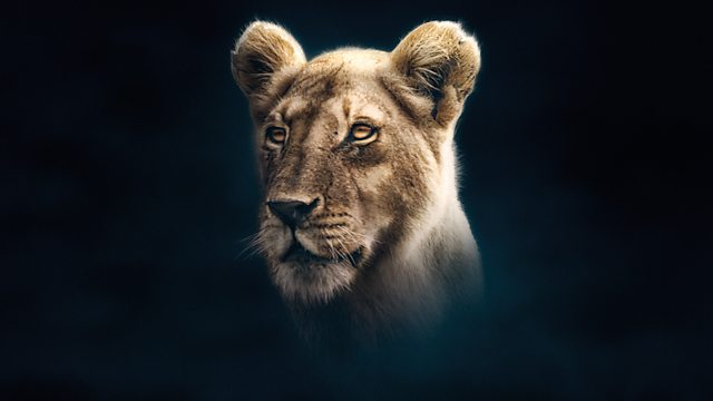 Bbc One Dynasties Series 1 Lion