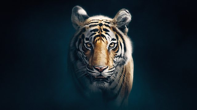 Bbc One Dynasties Series 1 Tiger