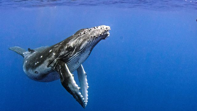 BBC Two - Natural World, 2018-2019, Humpback Whales: A