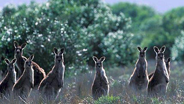 BBC Nature: Kangaroos and wallabies